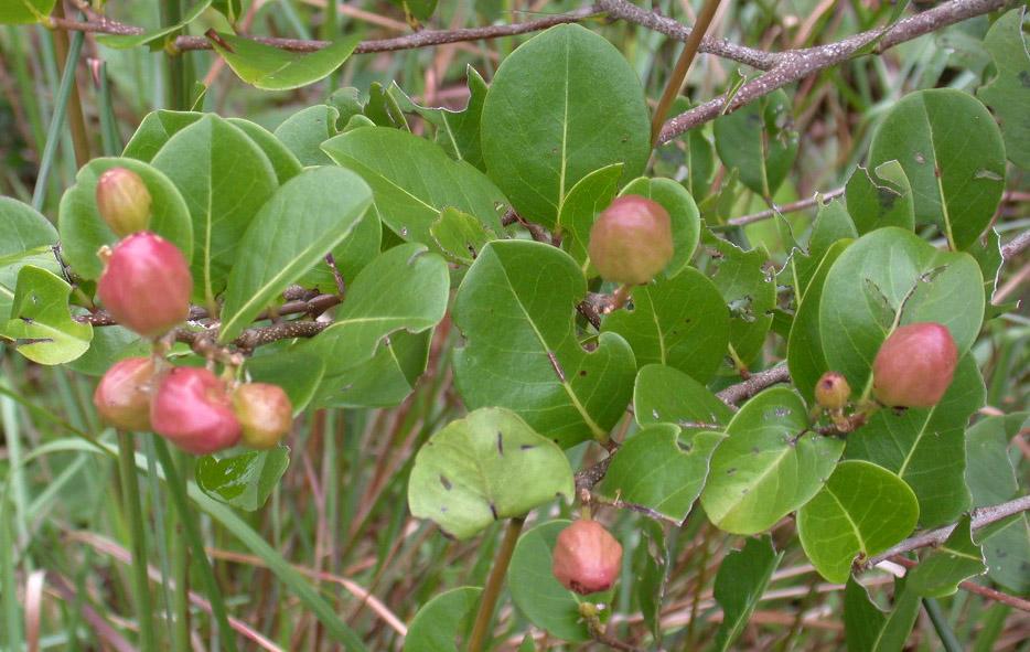 Panama watershed tree atlas for Frutas ornamentales