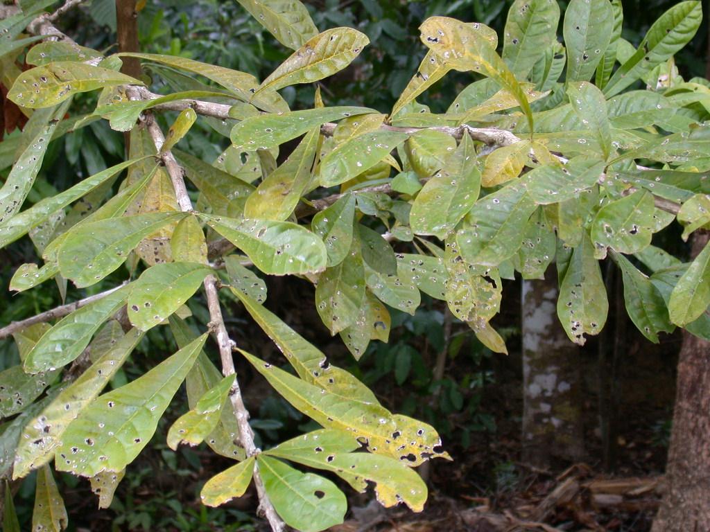 Panama watershed tree atlas - Arboles y arbustos ...