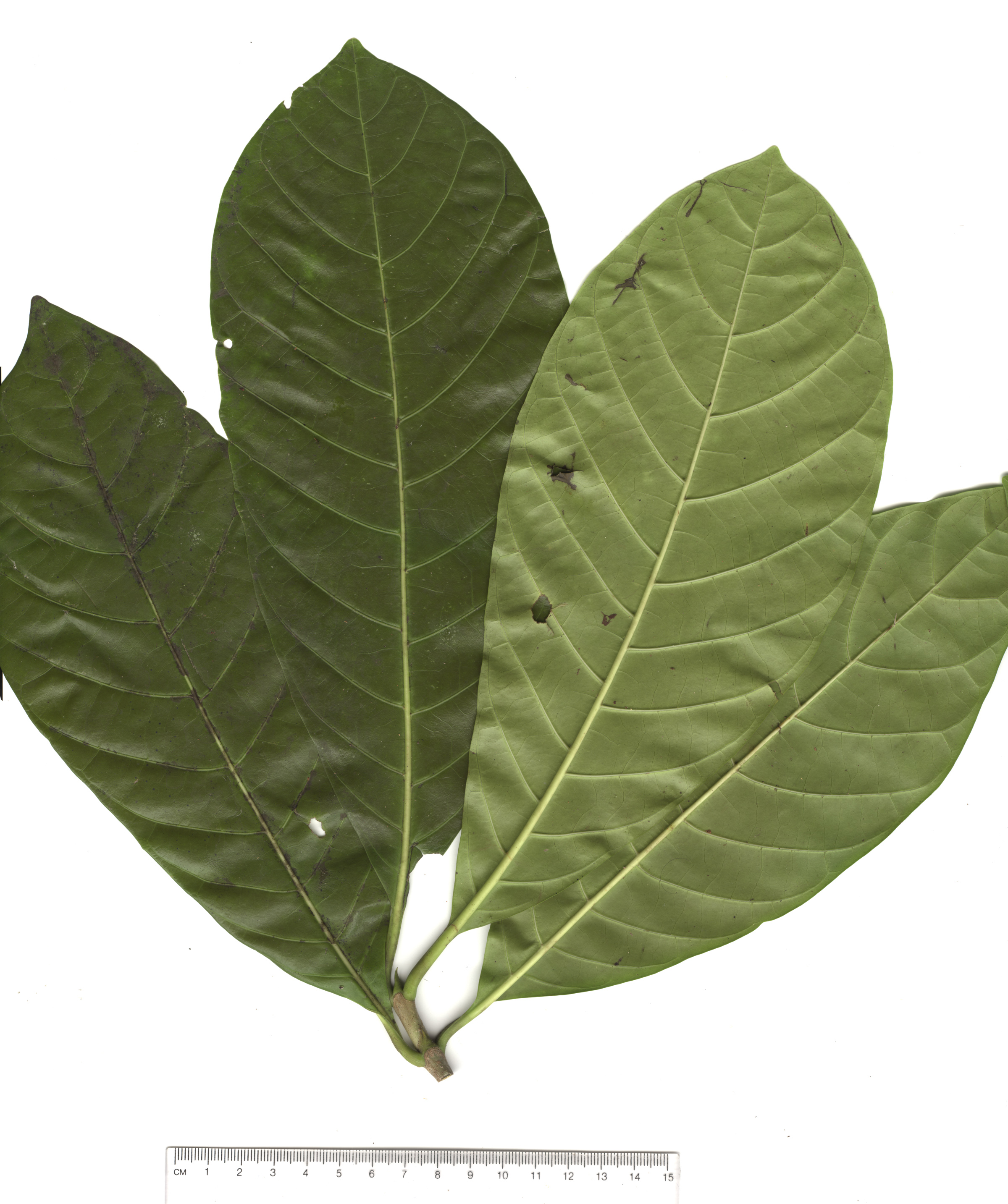 Hojas de arboles hoja related keywords hoja long tail for Arboles frutales de hoja caduca